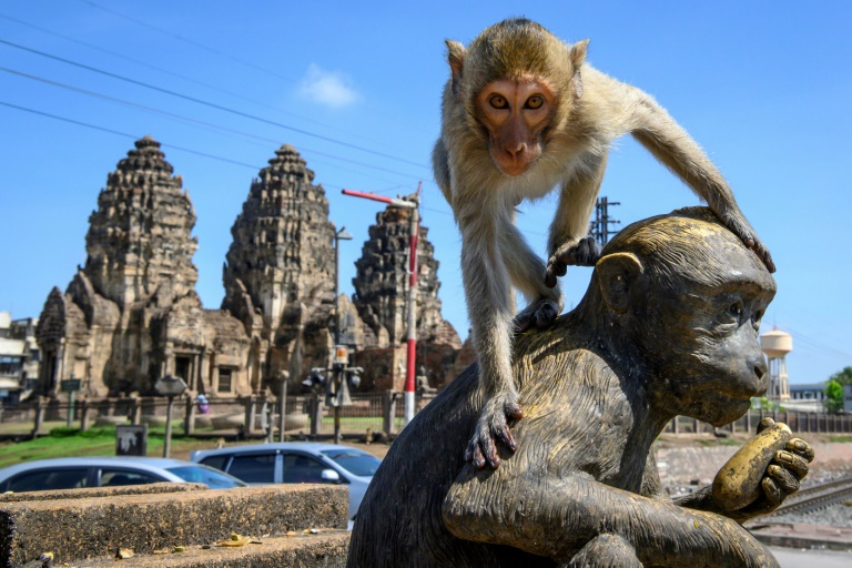 A sterilisation campaign is being waged against the monkeys in Lop Buri.