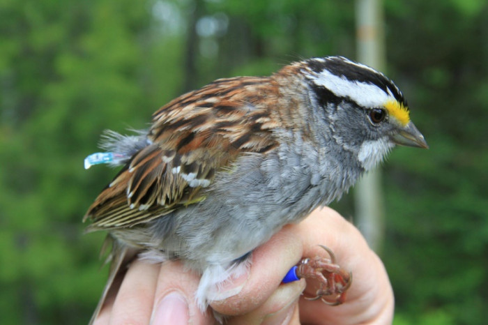 Canadian sparrows changing their tune - Bangkok Post