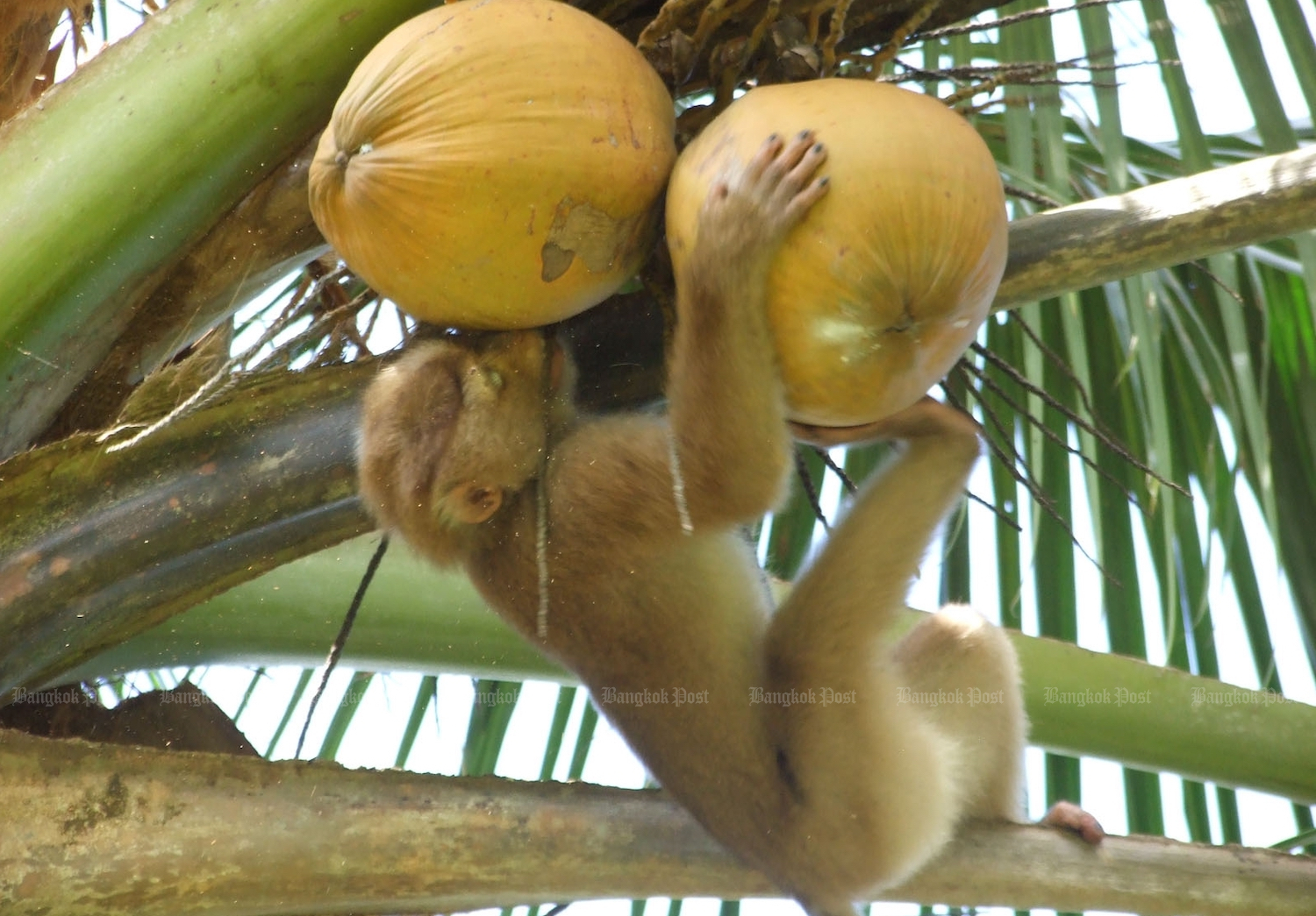 Coconut items picked by monkeys removed from supermarkets in England