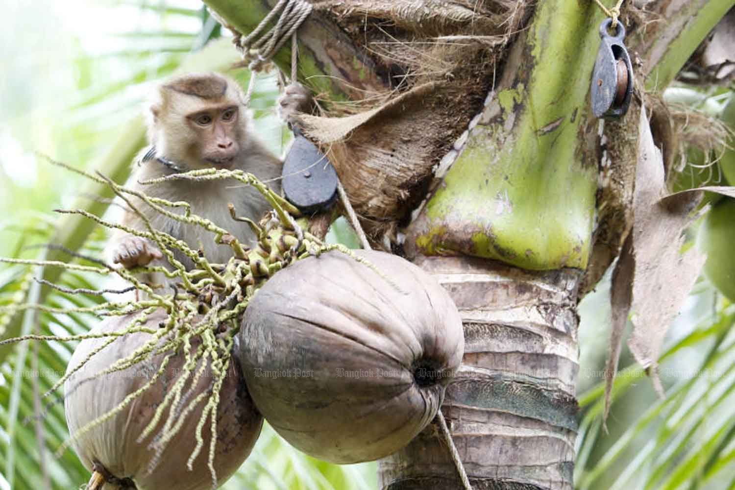 A monkey is trained to pick coconuts in Surat Thani province. (Photo: Pattarapong Chatpattarasill)