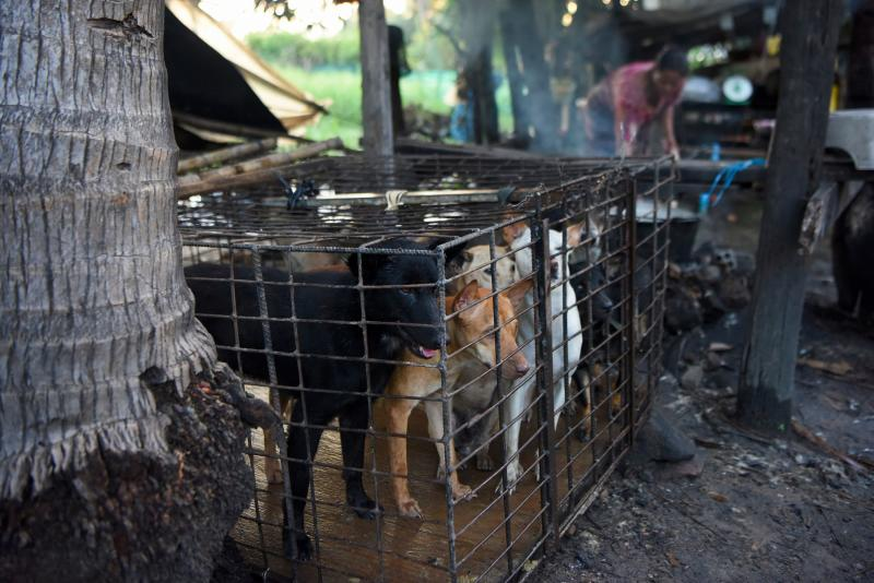 Dogs are kept in a cage as a woman boils water at a slaughterhouse in Siem Reap province, on  Oct 25, 2019. (AFP file photo)
