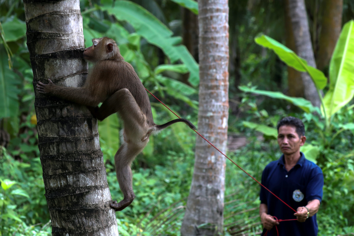 Nirun Wongwanich, 52, trains a monkey to pick coconuts in Surat Thani. He says his animals are treated humanely and sometimes used on older, taller trees. (Reuters Photo)
