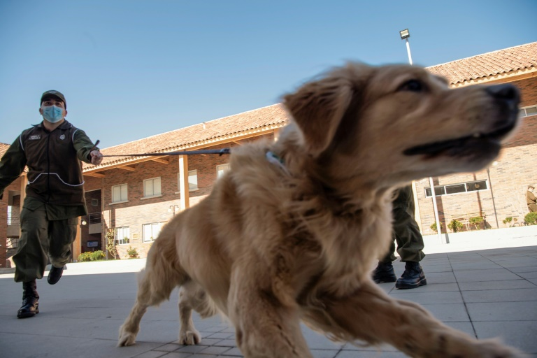 Clifford is one of three Golden Retrievers the Chilean Police Canine Training team is training to sniff out Covid-19 cases.