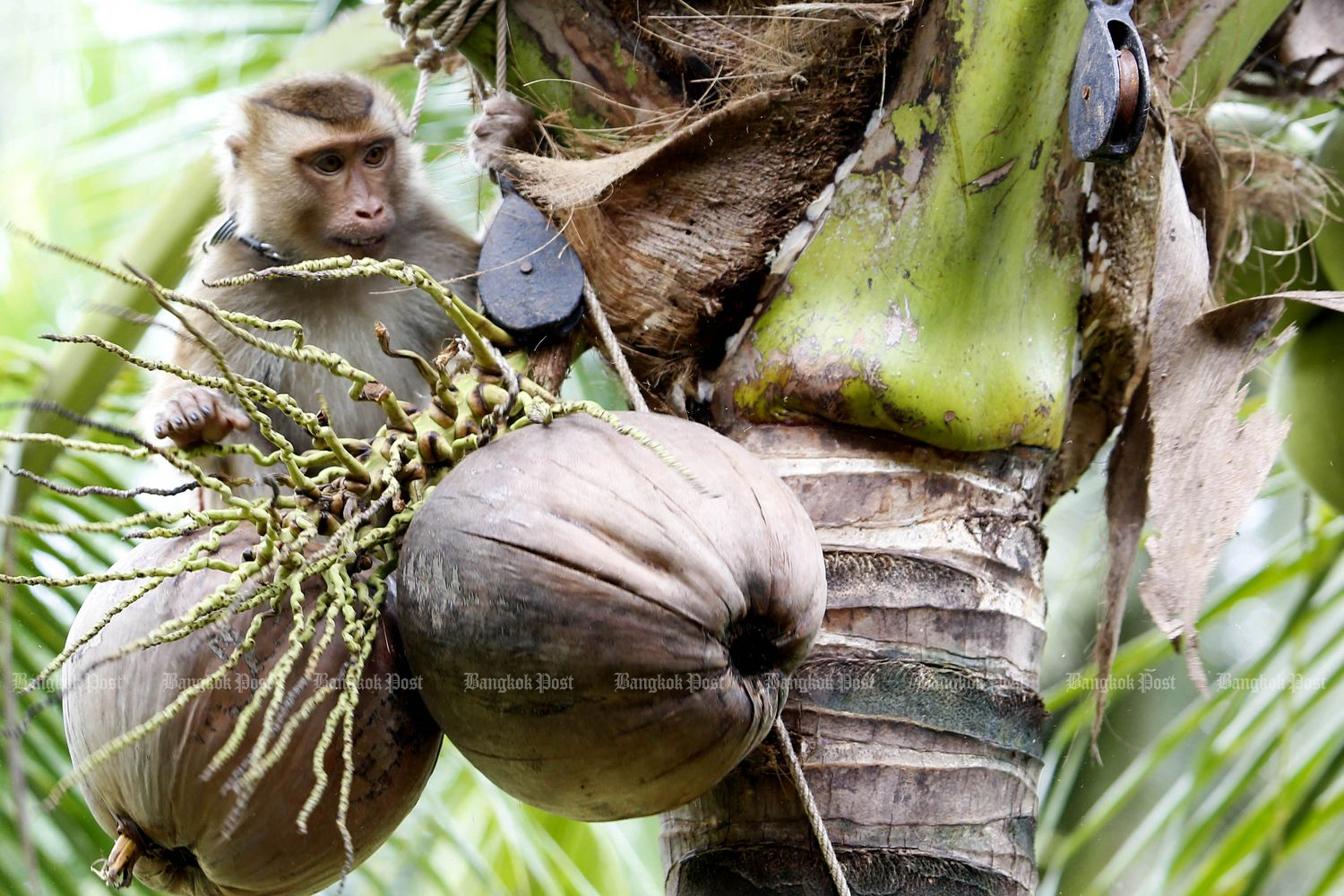 A monkey picks coconuts at the Khlong Noi Monkey Training School in Muang district, Surat Thani province, in October last year. (Photo by Pattarapong Chatpattarasill)