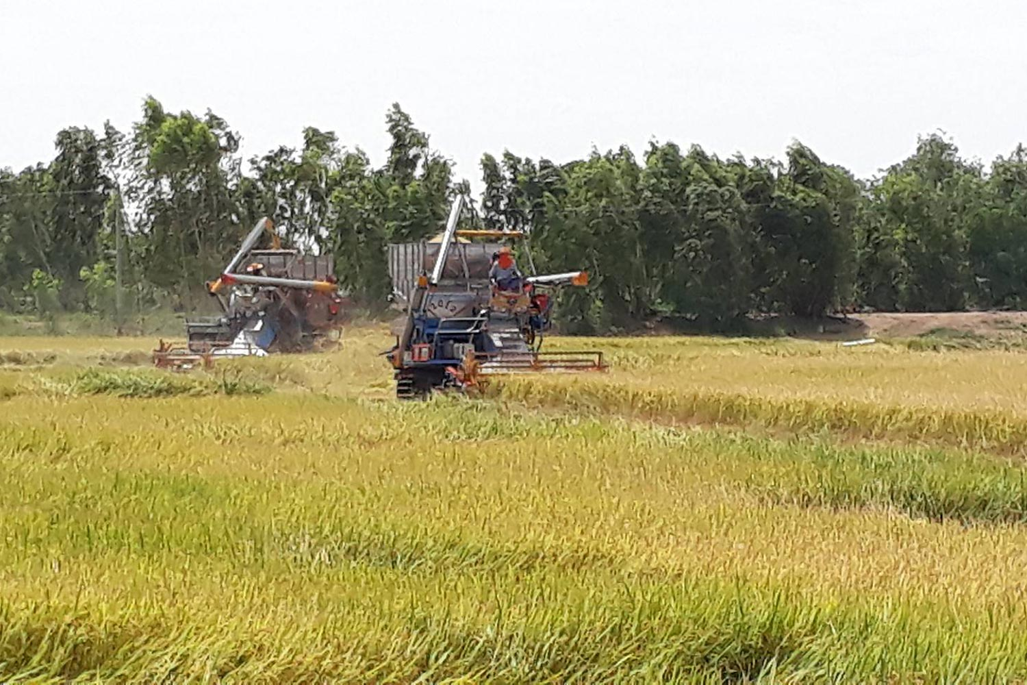 The rice pledging scheme for rice farmers, running from 2011 to 2014, was the largest rice market intervention scheme in Thai history.(Photo by Sunthorn Pongpao)