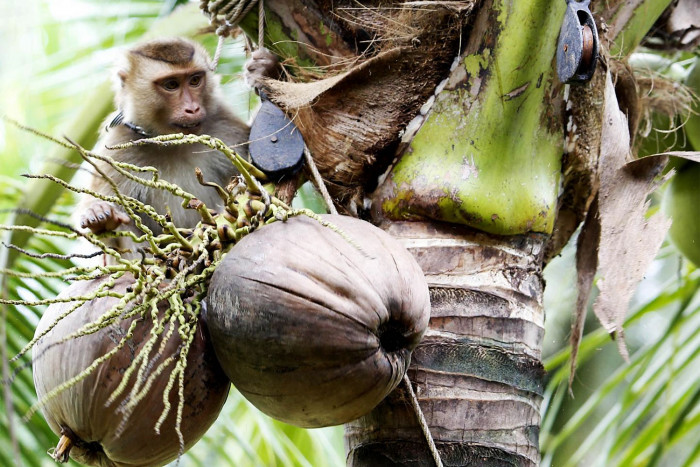 No monkey business in the Thai coconut industry