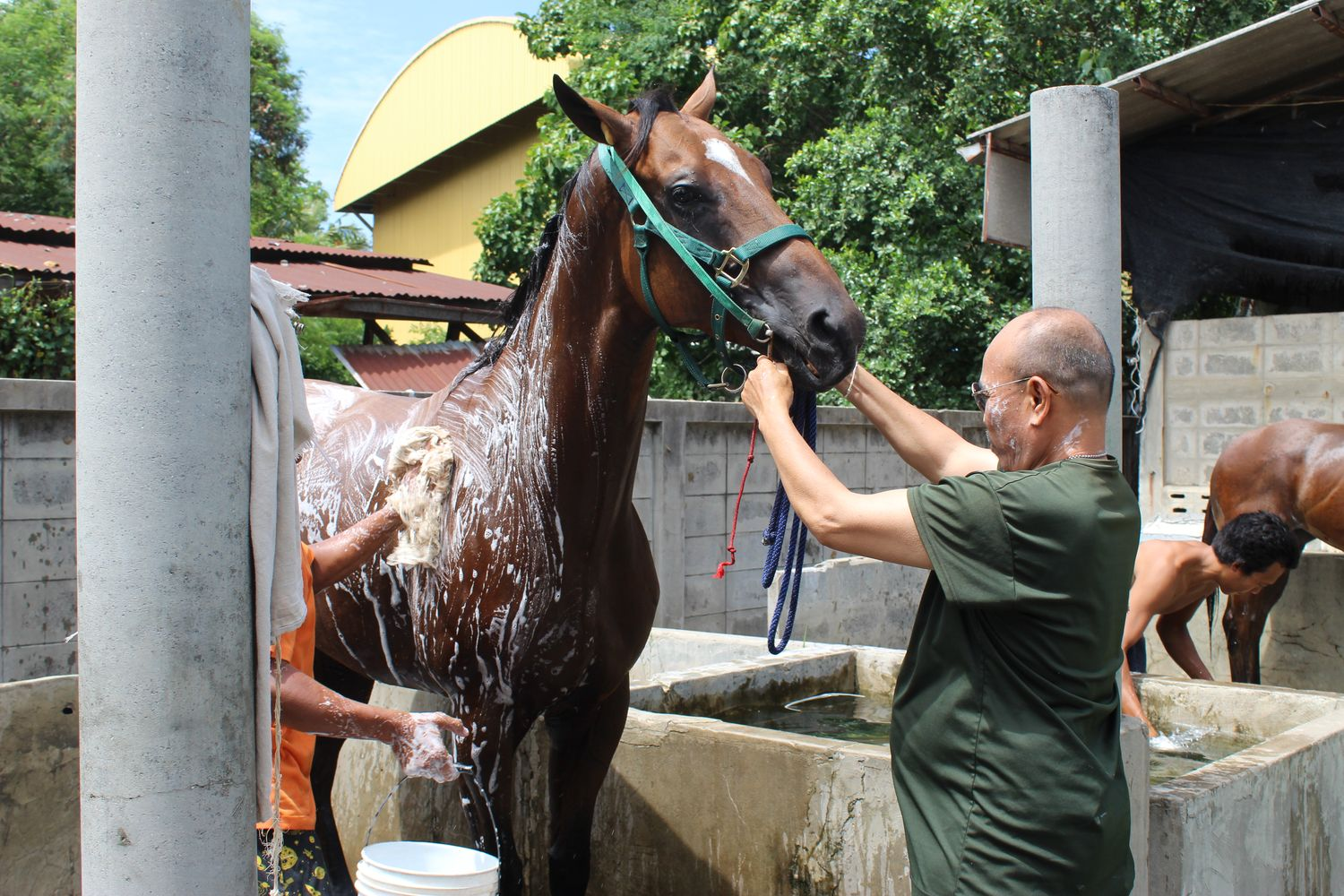 Stablehands wash a horse in Nakhon Ratchasima province in this undated photo.(Photo supplied by Prasit Tangprasert)