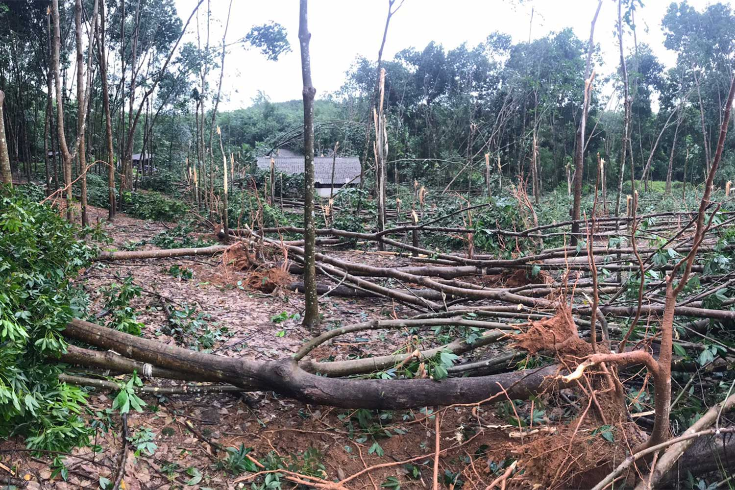 Many rubber trees are brought down by a whirlwind in Bo Rai district of Trat on Monday evening. Four houses were damaged. No injuries were reported. (Photo by Jakkrit Waewkhraihong)