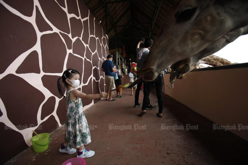 A girl feeds a giraffe at Safari World on July 4, 2020, as local tourism gradually returns. Thailand still needs plans to woo foreign visitors to bolster the sector. (Photo by Nutthawat Wicheanbut)