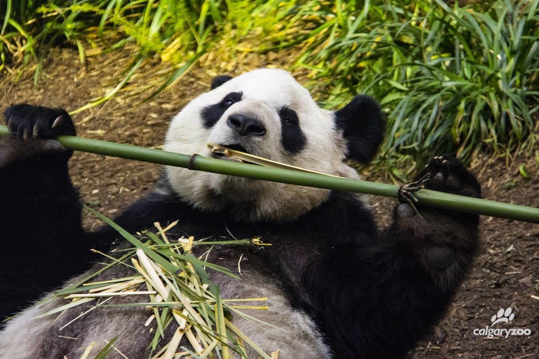 Chinese Pandas Stuck In Canada As Fresh Bamboo Supplies Run Low