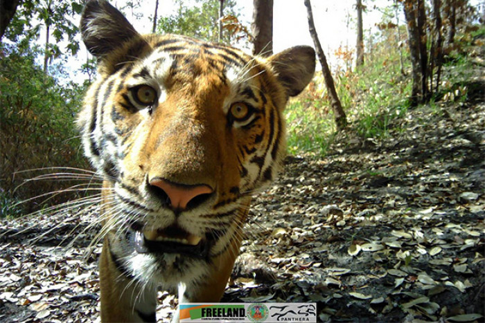 Image of curious tiger that camera installer did not live to see