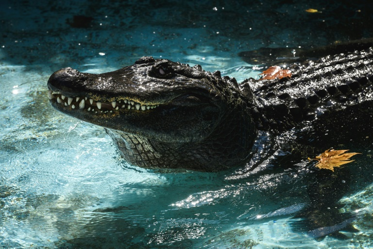 Muja has been at the zoo in Belgrade for 83 years, making him the world's oldest captive alligator.