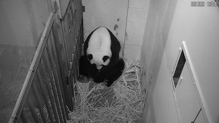 The new mother was exhibiting typical panda mom behavior like