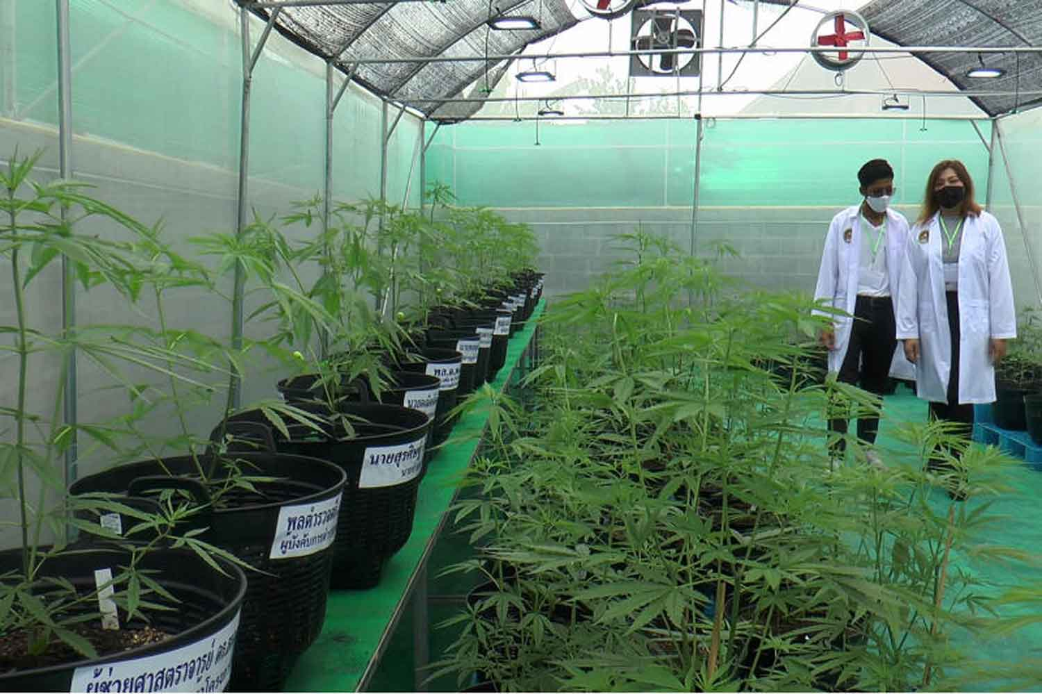 A cannabis farm in Nakhon Ratchasima province. (Photo: Prasit Tangprasert)