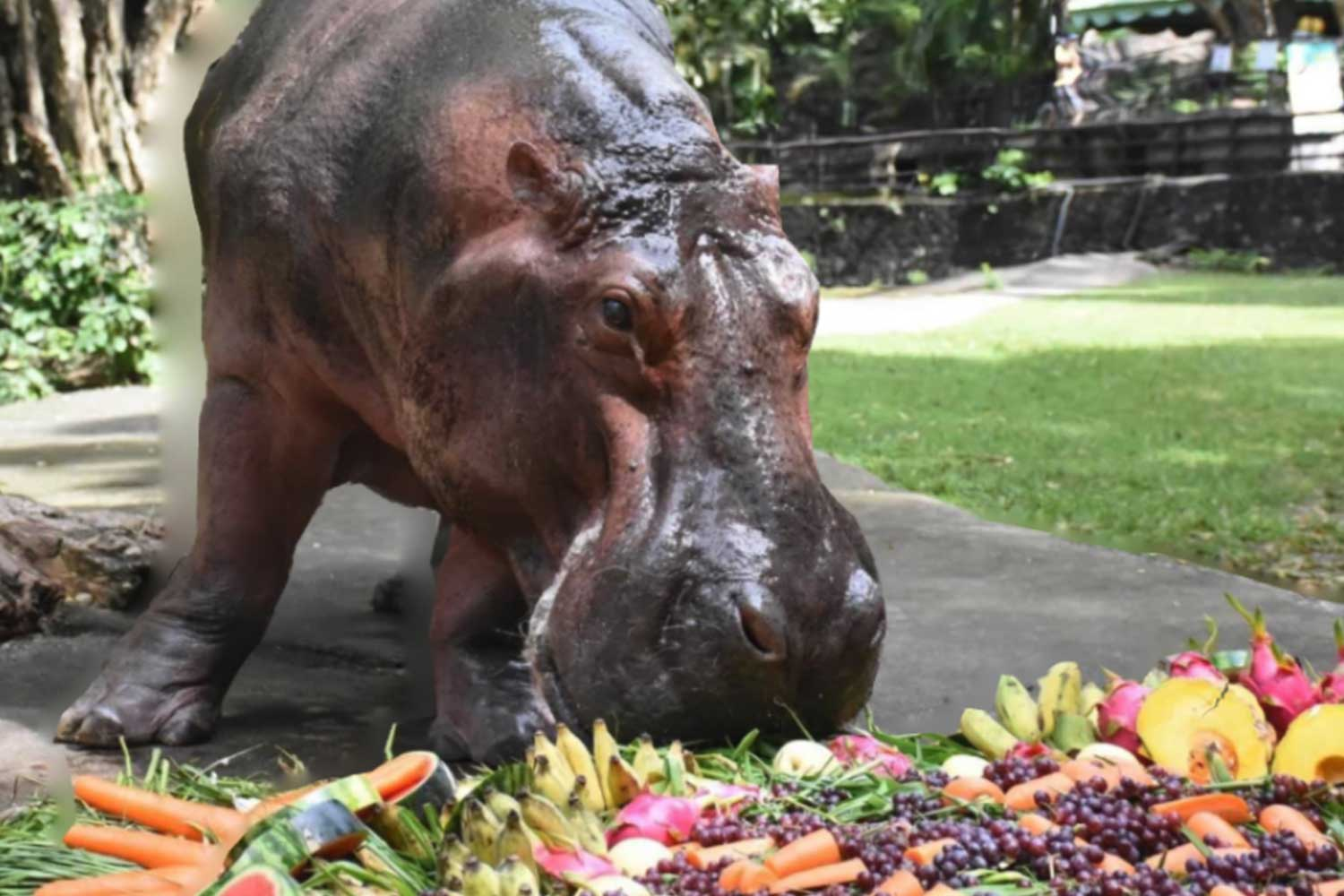Fifty-five-year-old Mae Mali, the oldest hippo in Thailand, snacks on her birthday cake at Khao Kheow Open Zoo in Chon Buri on Tuesday. (Photo: @thailandzoo, the Zoological Park Organisation of Thailand Facebook page)