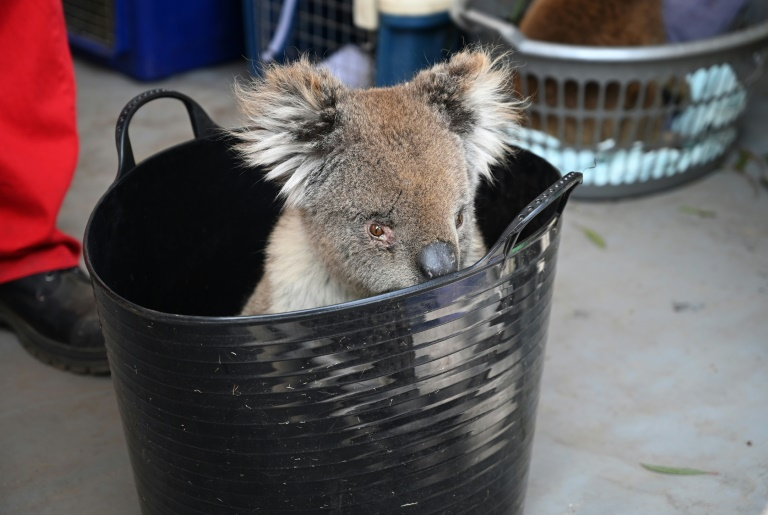 Unprecedented Australian bushfires have destroyed vast swathes of koala habitat