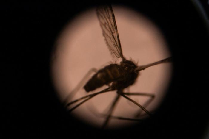 Invasive Asian mosquito species threatens African cities