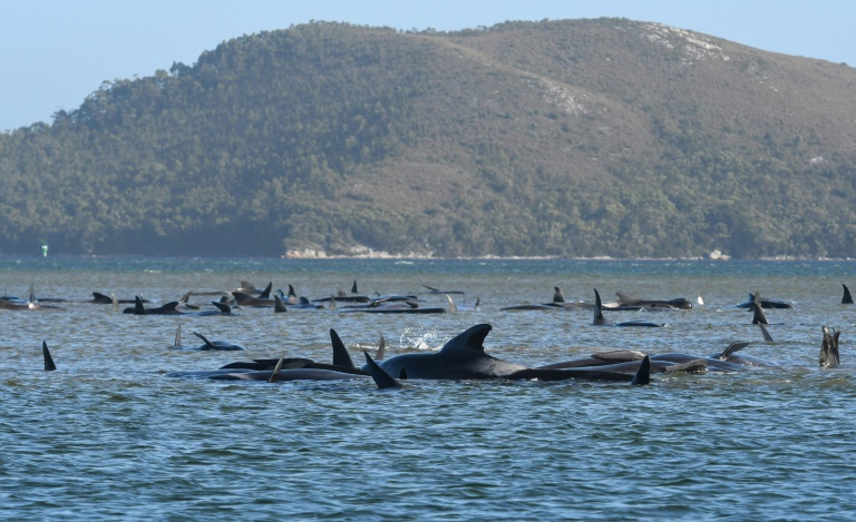 Hundreds of whales have died in Tasmania's biggest mass stranding, with rescuers racing to save a few dozen animals stuck on a sandbar.