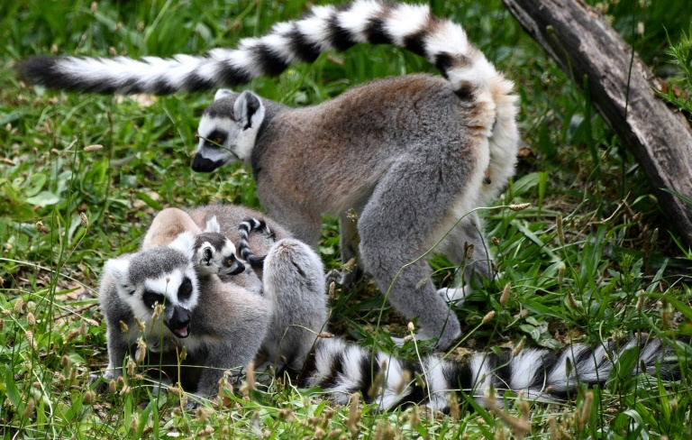 Many Madagascan species are under threat, like these ring-tailed lemurs in a Paris zoo.
