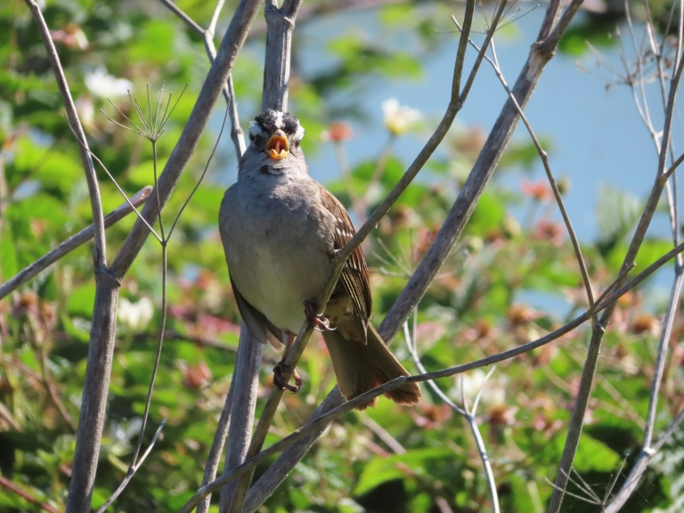 A male white-crowned sparrow sings to protect his territory and attract mates in San Francisco