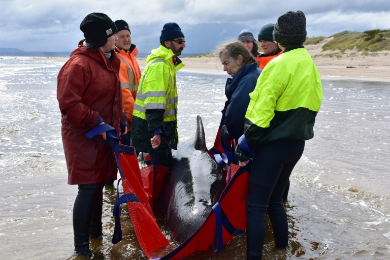 Rescue efforts continue in Australia's mass whale stranding