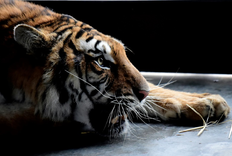 Last year Polish border authorities found 10 emaciated and dehydrated big cats in the back of a truck taking them from Italy to a zoo in Russia's Dagestan Republic.