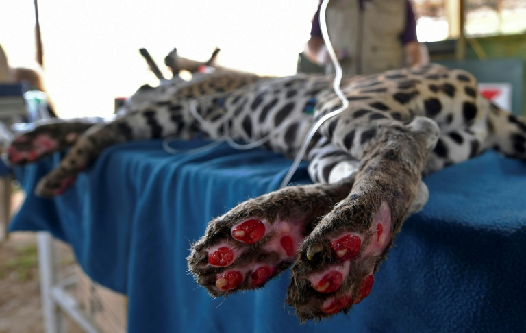 Jaguar Amanaci suffered third degree burns from the Pantanal fires and may never be able to be released into the wild again