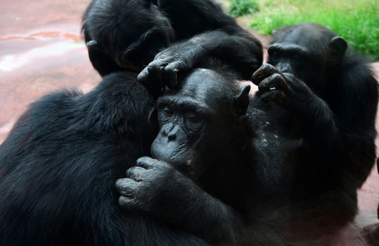 Old is gold: Like humans, aging chimps prioritise important friendships