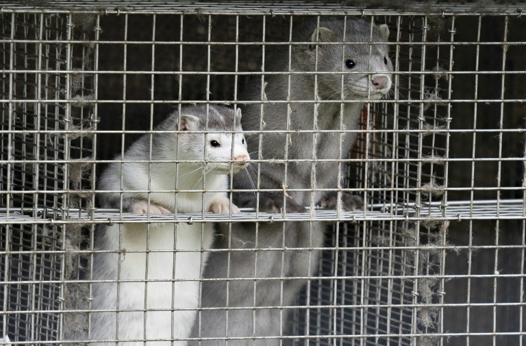 French mink farms under 'surveillance' after Covid outbreak