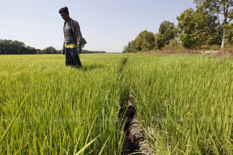 A farmer walks in his rice field in Pathum Thani. (Photo by Wichan Charoenkiatpakul)