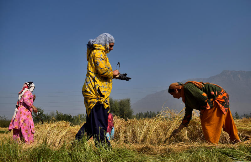 Kashmiri farmers harvest paddy crops on the outskirts of Srinagar Sept 22, 2020. (Reuters file photo)