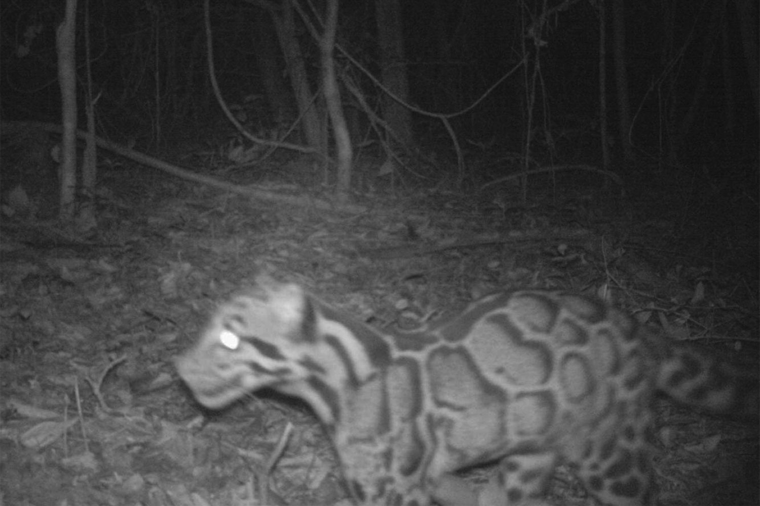 A rare clouded leopard is seen in this picture taken recently from a camera trap on Phanom Dong Rak mountain in Si Sa Ket's Khun Han district. (Photo: 9th Conservation Area Administration Office.)