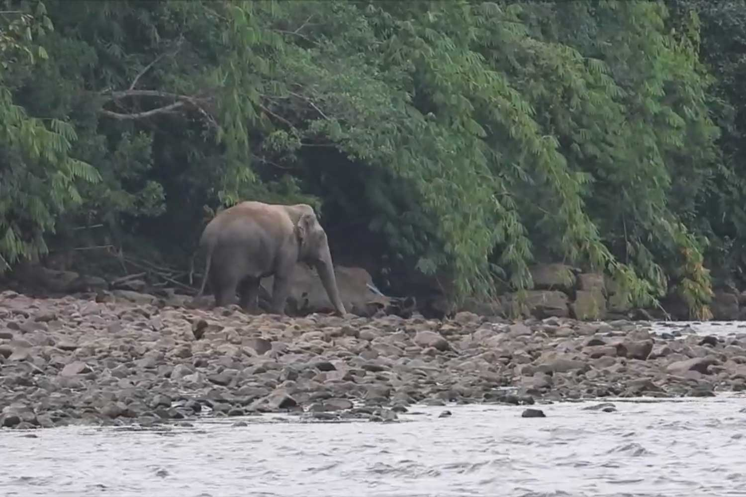 A wild elephant is spotted along the Kwai Noi River in Thong Pha Phum district, Kanchanaburi. (Photo supplied via Piyarat Chongcharoen)