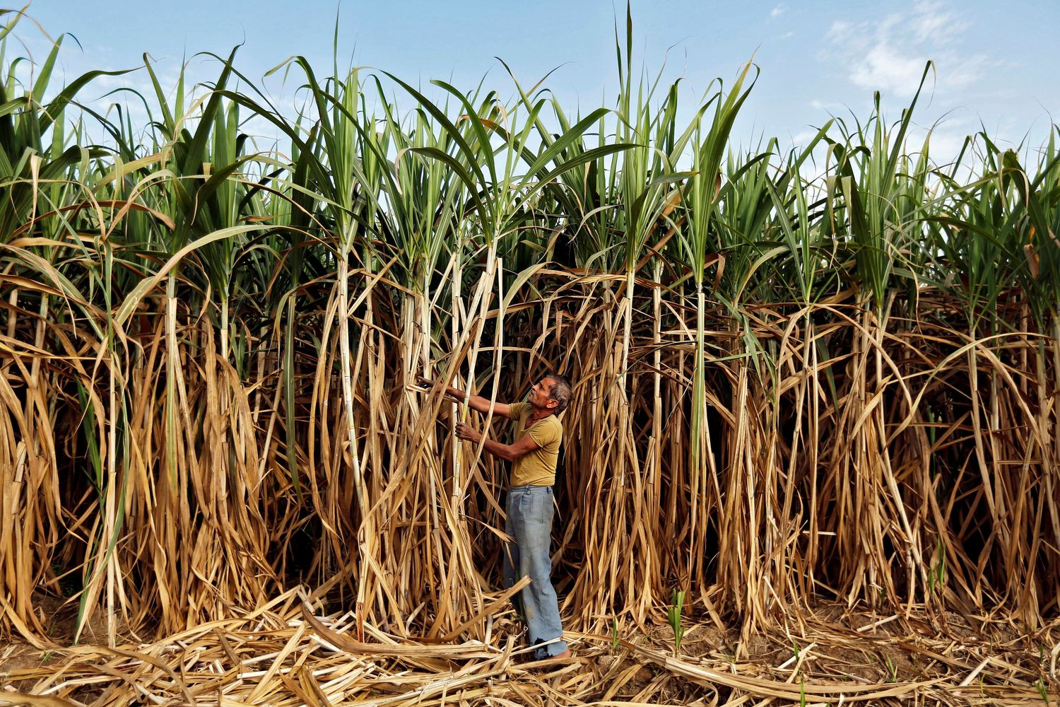 A farmer works in his sugarcane field on the outskirts of Ahmedabad, India. (Reuters photo)