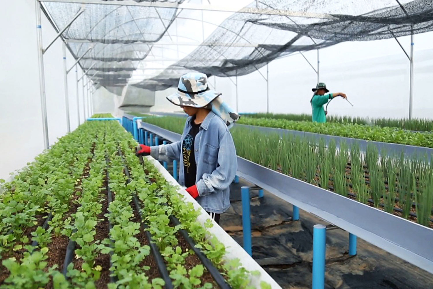 precision growth: A farmer tends to vegetables in a greenhouse that practises precision farming methods under the guidance of the Pid Thong Lang Phra Foundation working with a Royal Initiative Project in Udon Thani.