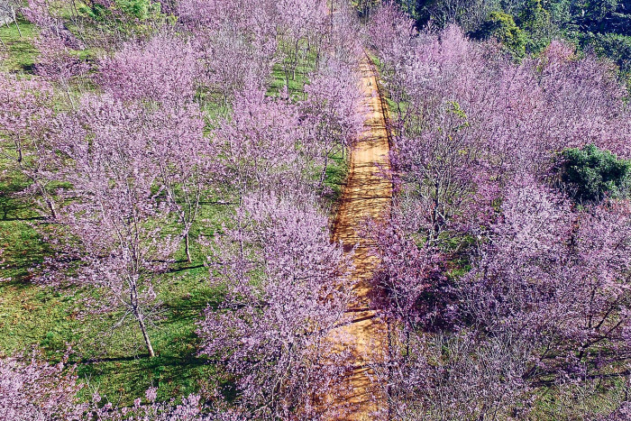 Chase the cherry blossoms in Phu Lom Lo