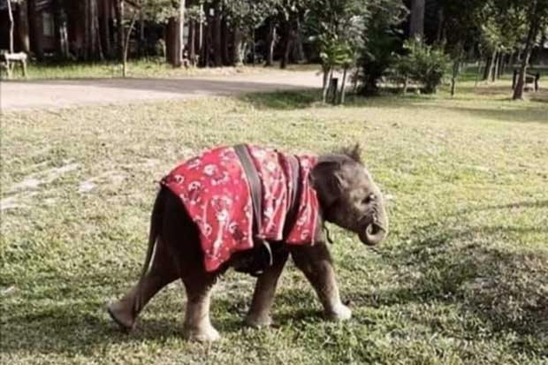 Popular baby elephant Chabakaew died on Wednesday at the Phu Wua Wildlife Sanctuary in Bueng Kan province