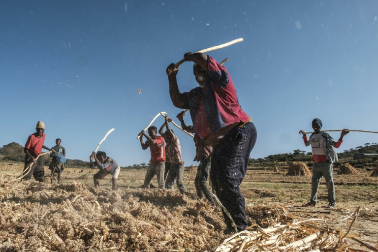 Farmhands work in a sorghum field in Ethiopia's Tigray region, where there are fears a hunger crisis could follow the conflict