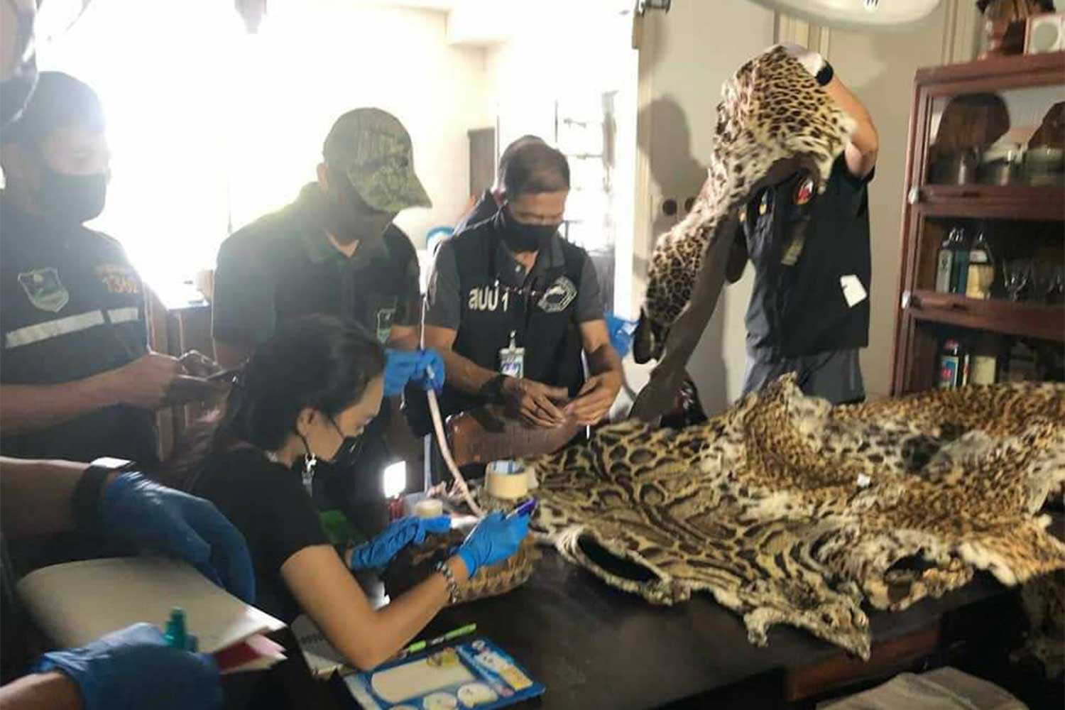 Wildlife officials examine the pelts of protected tigers and leopards, and other items during the raid on a hotel in Sukhumvit area, Bangkok, on Wednesday. (Photo: Natural Resources and Environmental Crime Suppression Division)