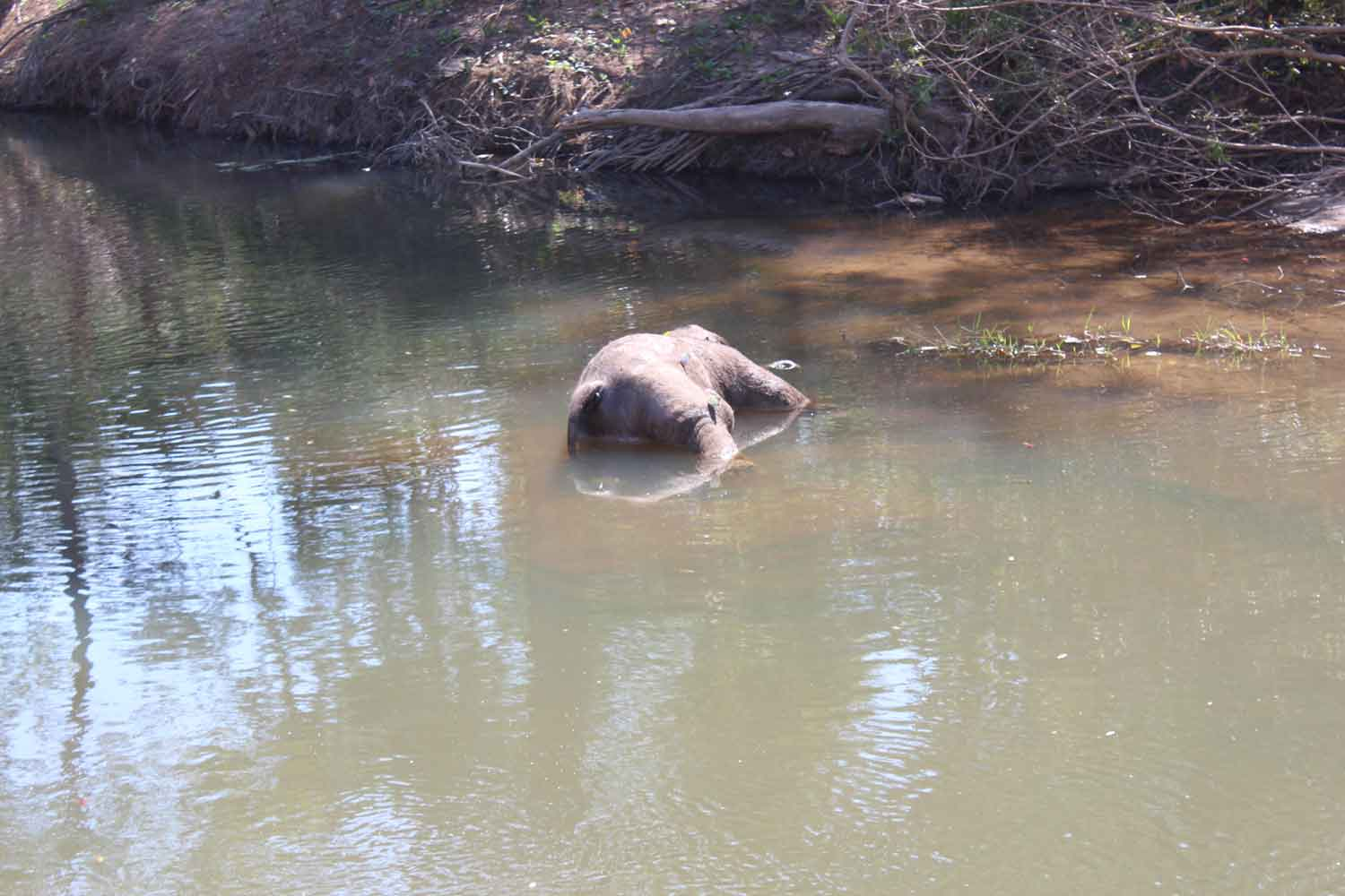 The  dead wild elephant calf lies in a stream in Thap Lan National Park in Nakhon Ratchasima's Khon Buri district. (Photo: Prasit Tangprasert)