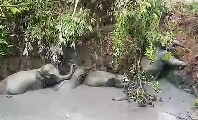 Four wild elephants made their way out of the mud pit in Myanmar where they had been trapped on Friday (June 4), urged on by the villagers who dug them an escape route. - REUTERS