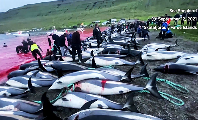 Graphic video shows residents of the Faroe Islands slashing dolphins and turning the water red with blood during a century-old traditional Grindadrap hunt, and fueling protests from environmental activists. - REUTERS