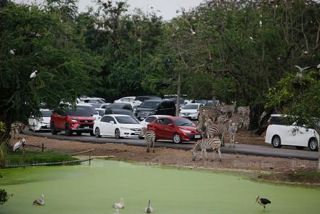 Bangkok's biggest open zoo reopened -1