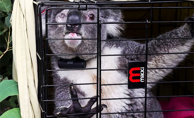 Australia trials chlamydia vaccine for koalas