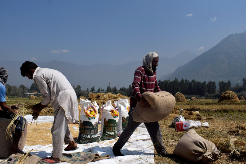 Kashmiri farmers pack winnowed rice grain in bags after a harvest on the outskirts of Srinagar Sept 22, 2020. (Reuters file photo)