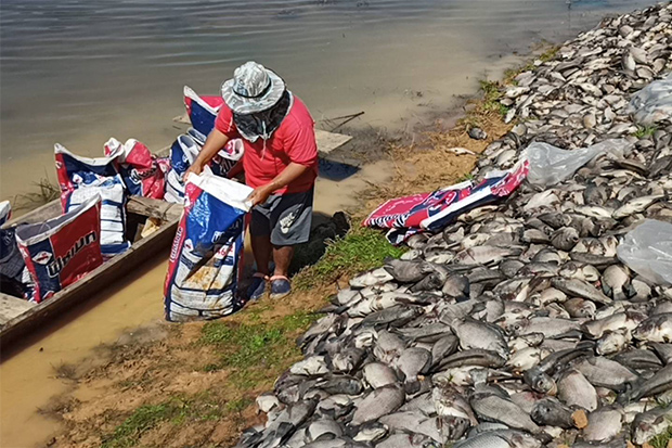 A fish farmer bags dead fish, killed by the cold spell, for disposal, beside the Songkhram stream in Tha Uthen district of Nakhon Phanom province on Tuesday. (Photo:   Phatthanapong Sripianchai)