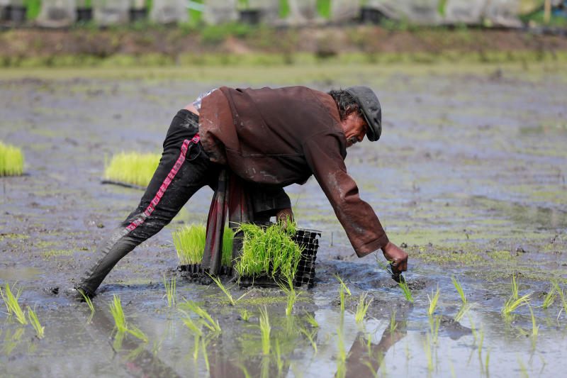 FILE PHOTO: A worker cultivates rice plants at Sompot Tubcharoen's farm in Bangkok, Aug 28, 2018. (Reuters)