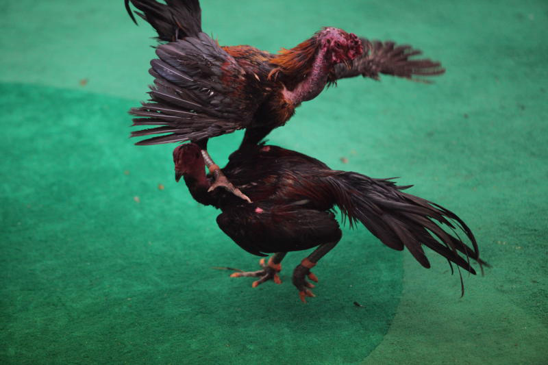 People caught gambling at cockfighting rings in Ayutthaya have been given suspended jail terms and a 6,000-baht fine. (Bangkok Post file photo)