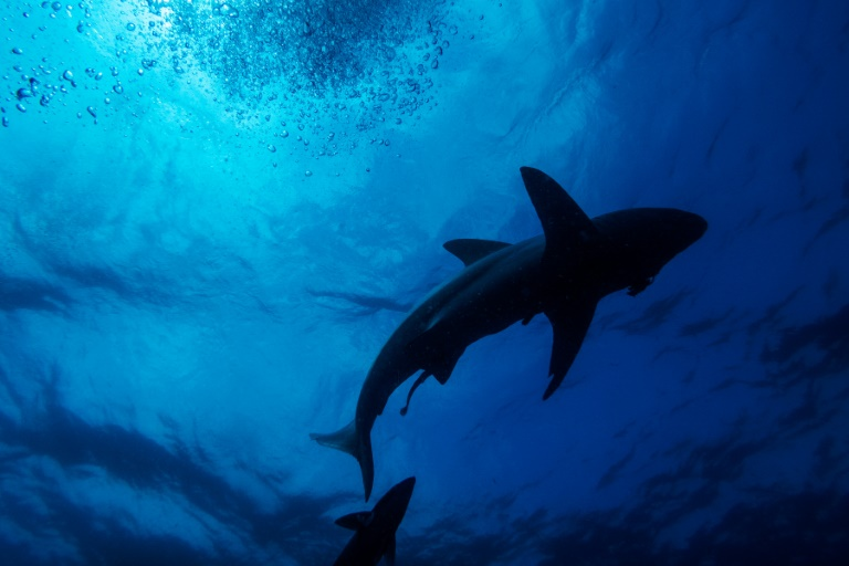 A black-tip shark is seen swimming during a baited shark dive in Umkomaas near Durban, South Africa