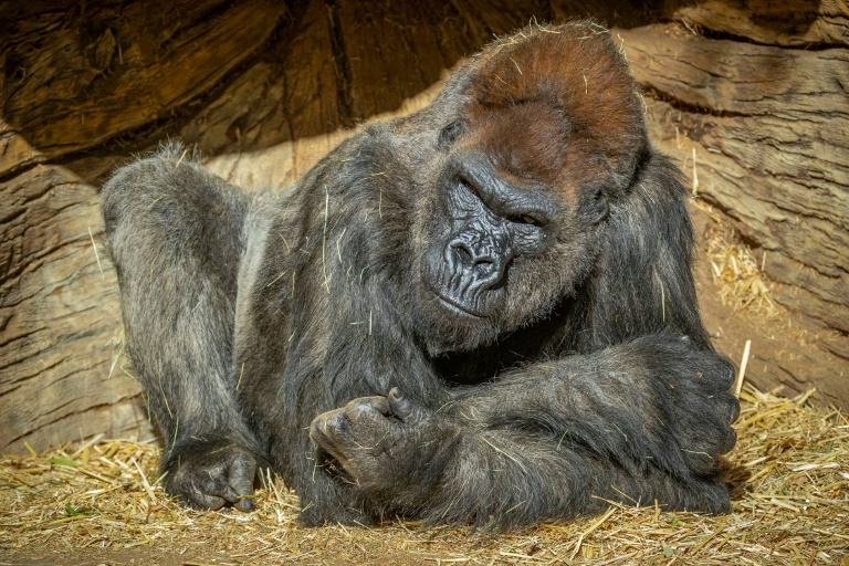 Gorilla treated with antibodies recovering from Covid, says US zoo